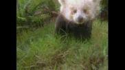 Червената Панда