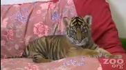 Бебе тигър 2