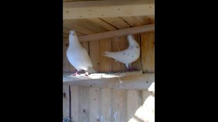 Гълаби - Моите гълби :d