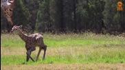Уникални кадри: Заснеха първите стъпки на жирафче