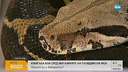 ИЗБЯГАЛАТА БОА: Опасен ли е този вид змия?