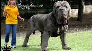 Топ 10 най-големите кучета в света