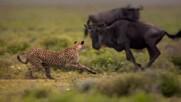 Човек срещу гепард | Световен ден на гепарда | National Geographic Bulgaria
