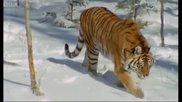 Сибирският тигър - Най-мощният хищник на света..