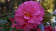 Ernesto Cortazar - Adoro-no Se Tu-contigo Aprendi - Camellia Flowers