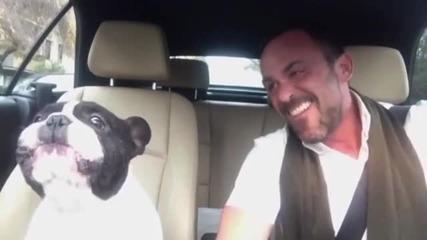 Френски булдог много обича да пее (ВИДЕО)