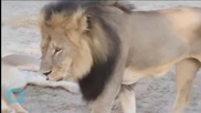 Cecil the Lion's Death Casts Shadow on Nat Geo Wild Event