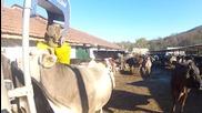 Крави на масаж