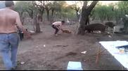 какво става когато се опиташ да хванеш диво прасе