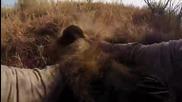 Лъвове прегръщат и целуват човек