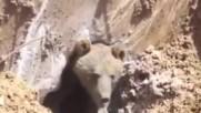 Строители се натъкват на голяма мечка