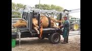 Страхотна технология за почистване на копитата на кравите