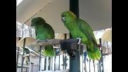 Зелени папагали спорят в разговор като стара семейна двойка ,смях