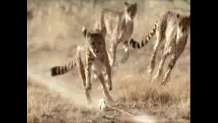 Cheetah and Lamborghini