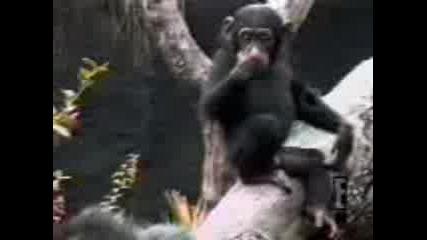 маймуна припада от собствена пръдня