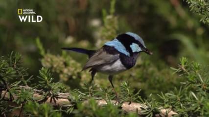 Австралийското синьо орехче