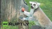 Животните в зоологическата градина в Рим разпускат в жегите с дини и сладолед