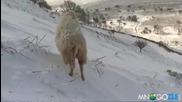 Спасяването на овца в снега, горкото животно !