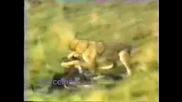 Най - Зрелищният Лов На Вълци!!!