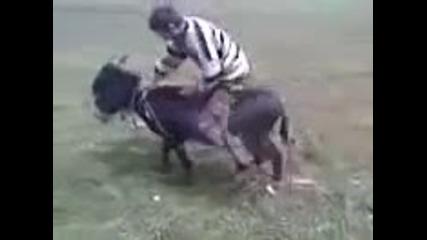 Начален старт на магаре