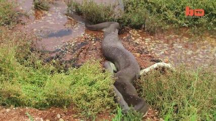 Невероятно !!! Змия изяжда крокодил