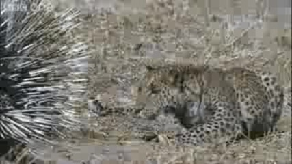 Leopard Vs Porcupine - Natures Great Events: The Great Flood
