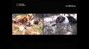 Неразрушимите - Нападнат от лъвове(2 част)