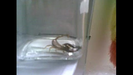 skorpion ubiva muha.lub. klip