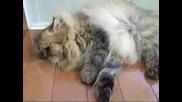 Къпане на котка
