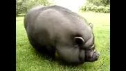 това тлъсто прасенце е много гладно