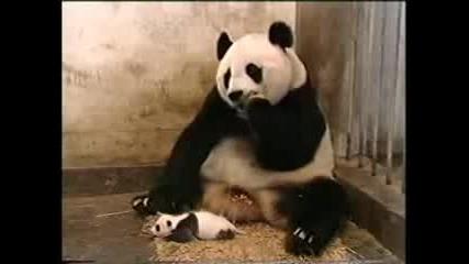 панда и нейното дете