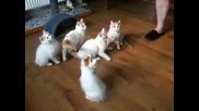 Малки бели котета, които си играят