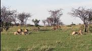 Майка жираф предпазва малкото си от лъвове