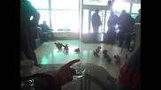 1 Частна Изложба На Ломски Гълъби В гр. Лом!