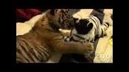 Тигър Бебче Си Играе (на Три Седмици)