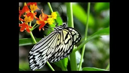 Beautiful Butterflies / Красиви пеперуди