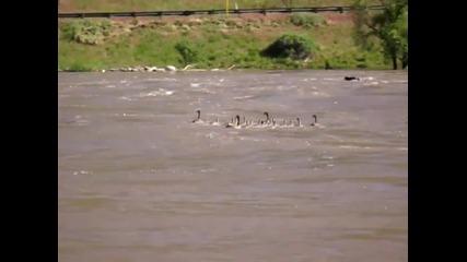 Ято сърфиращи гъски на гребена на вълната - забавно!