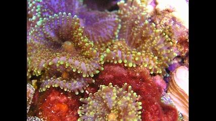 Ricordea yuma, Mushroom coral в рифов аквариум