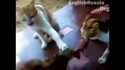 Целия от Господари на ефира с 3те котки каращи се за парче месо