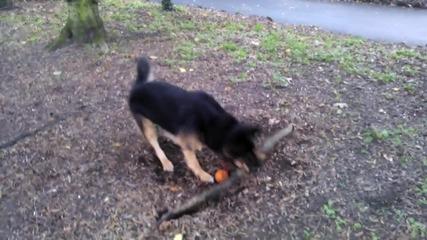 Куче се опитва да откъсне корен на дърво (смях)