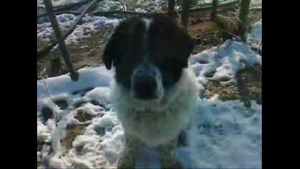 Бок(българско Овчарско Куче)