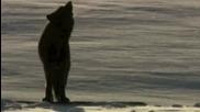 Звуци на вълци с програмата Ladida