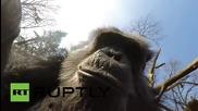 Дрон срещу шимпанзета