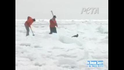 Убиване на Тюлени за техните Кожи