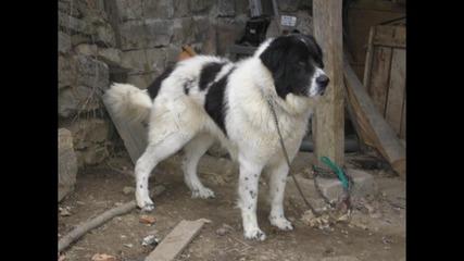 Кучета на Срок Бок