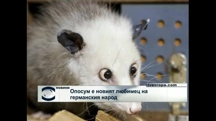 Кривоглед опосум стана поредното животно знаменитост в Германия