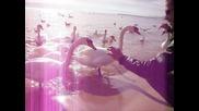 Лебеди в морето Варна