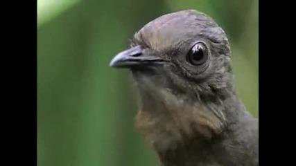 Птицата Лира - имитира звуци