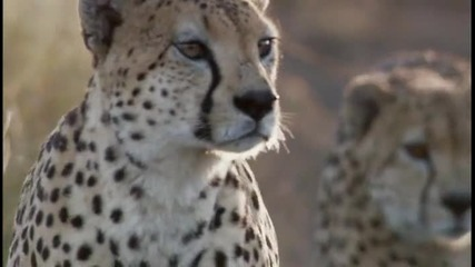 Тактиката на гепардите