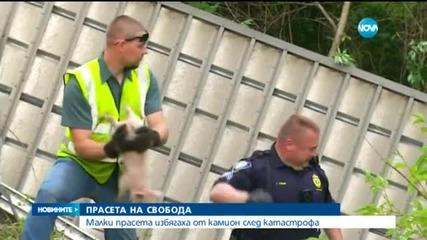 2200 прасенца избягаха от камион след катастрофа